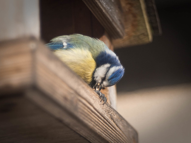 Blue Tit in our Feeding House