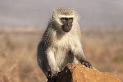 Velvet monkey - Zimanga - South-Africa