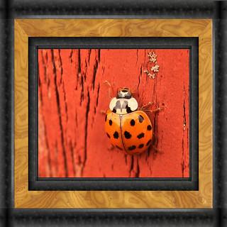 Asian Lady Beetle Framed