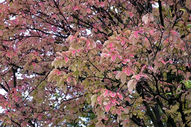 Herbstlicher Blütenhartriegel (Cornus florida); Köln, NRW (130)