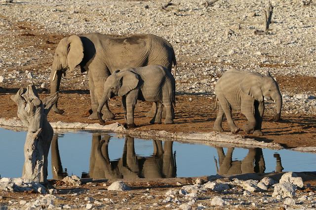 Piccoli elefanti crescono