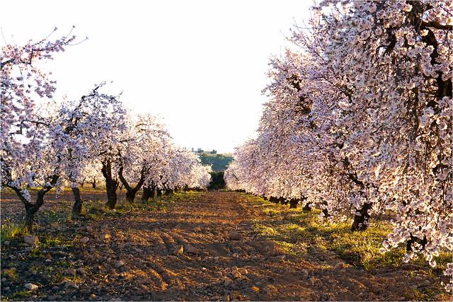 almond blossoms.......
