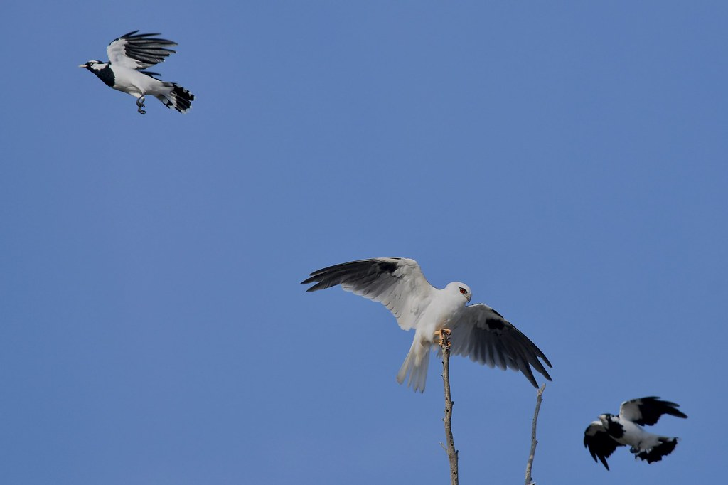 Black - shouldered Kite and Magpie -larks