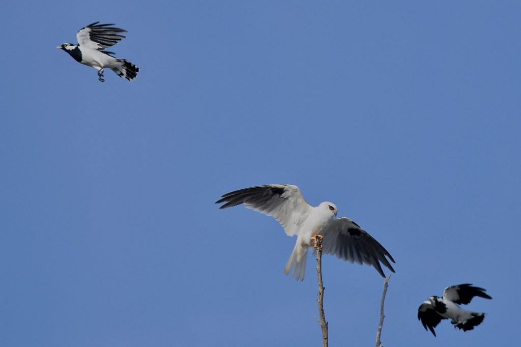 Black - shouldered Kite and Magpie -larks