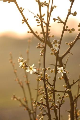 nikon d5300 hertfordshire evening spring walk nature blossom backlit warm blackthorn