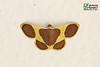 Plutodes cyclaria