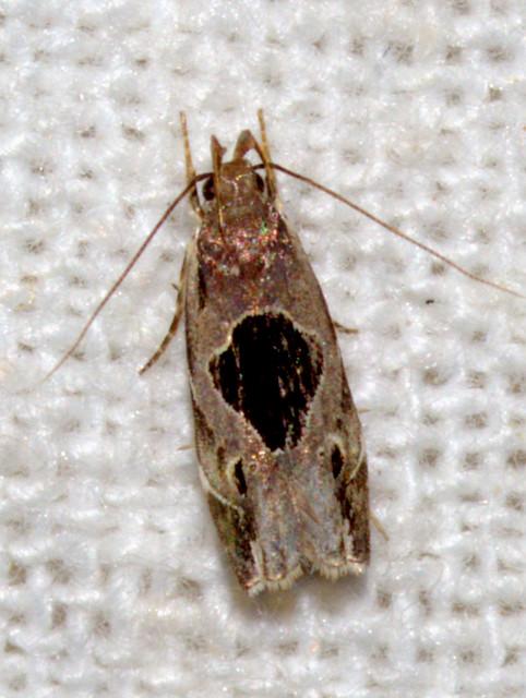 ecosystem/fauna/Twirler Moth(Helcystogramma hibisci)