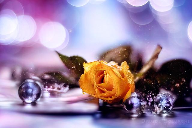 Piccola Rosa Gialla