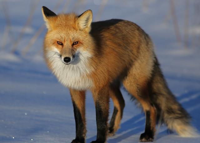 Red Fox...#22
