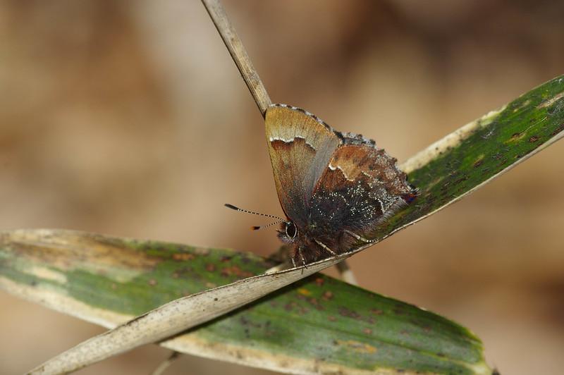 Callophrys ferrea