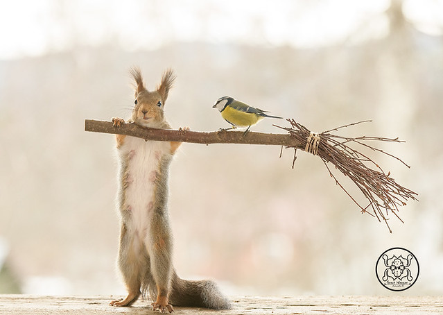 red squirrel holding a broom with a tit