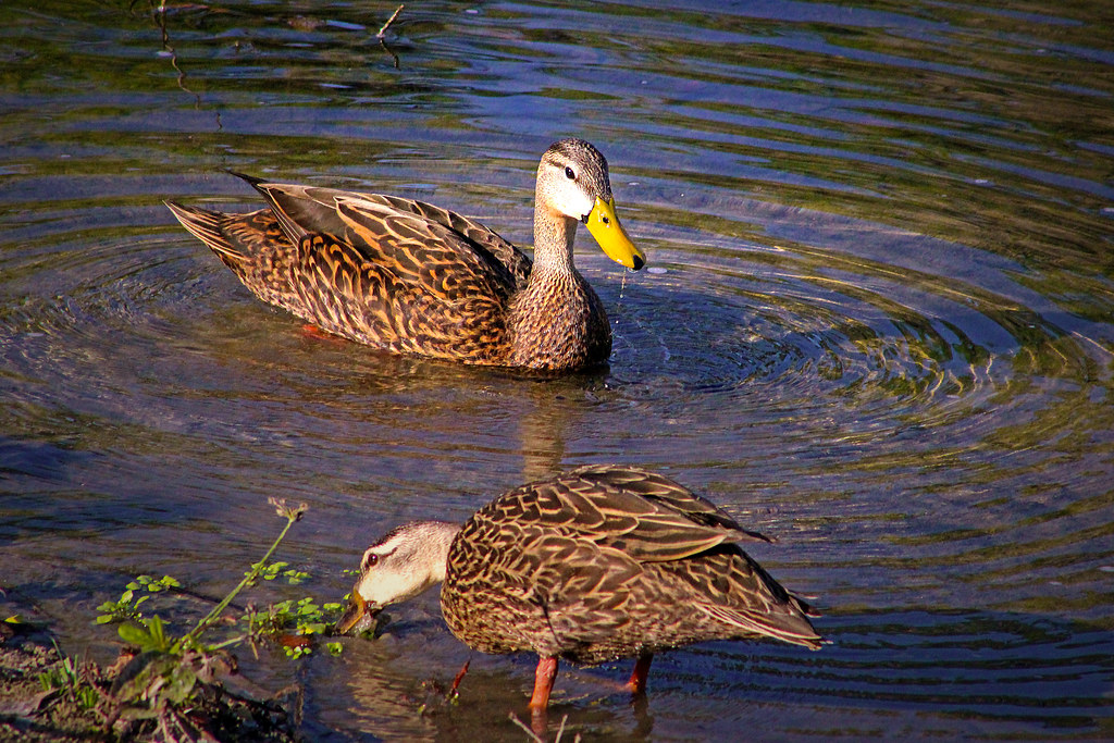 2020.03.20 Sweetwater Wetlands Mottled Duck 1