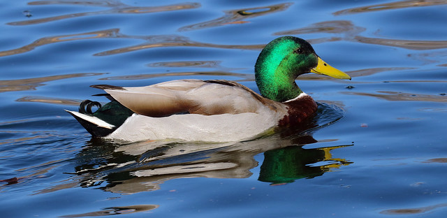 Mallard -- Male (Anas platyrhynchos);  Albuquerque, NM, Tingley Beach Park [Lou Feltz]