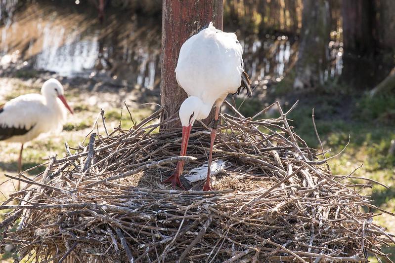 földön fészkelő gólyák a röpdékben