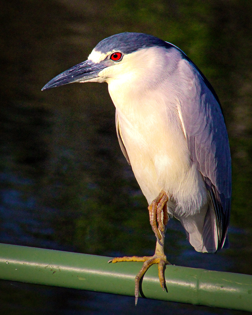 2020.03.20 Sweetwater Wetlands Black-crowned Night Heron 5