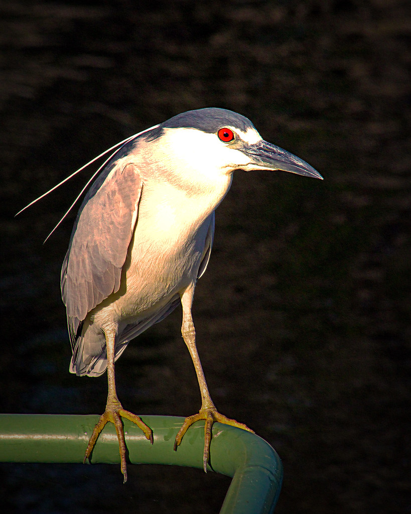 2020.03.20 Sweetwater Wetlands Black-crowned Night Heron 4