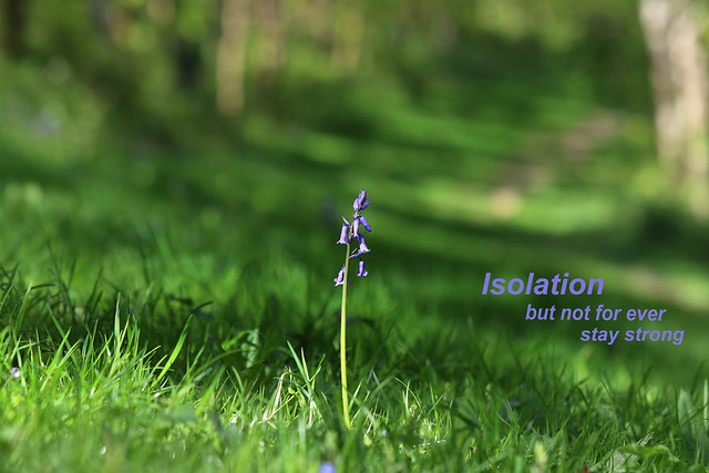 Bluebell in Isolation