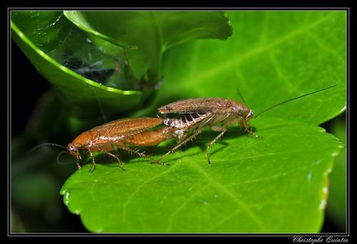 Blatte forestière (Ectobius pallidus)