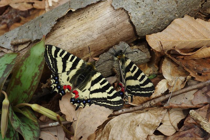 Luehdorfia puziloi, after mating