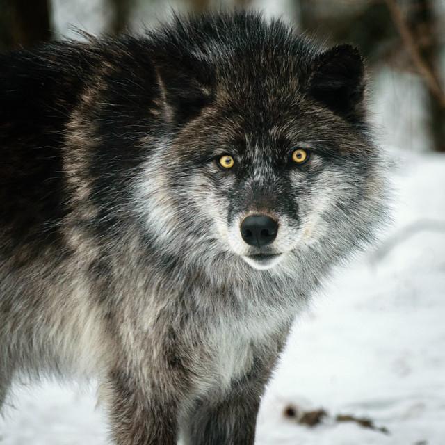 Alpha Gray Wolf-6171