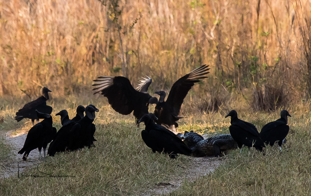so,there was a flock of vultures and a caiman