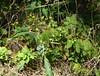 Bupleurum falcatum (Sickle-leaved hare's-ear / Sikkelgoudscherm)