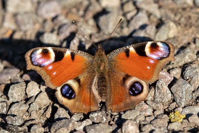Aglais io (Peacock Butterfly) - Nymphalidae - Milton Estate, Peterborough, UK