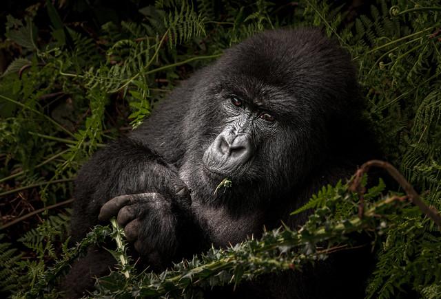 Mountain gorilla in Ruanda