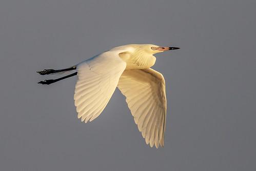 spring 2020 outdoor seaside dennis adair nature wildlife 7dm2 7d ii ef100400mm canon florida bird bif flight