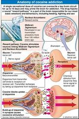 Infographic :Anatomy of Cocaine Addiction