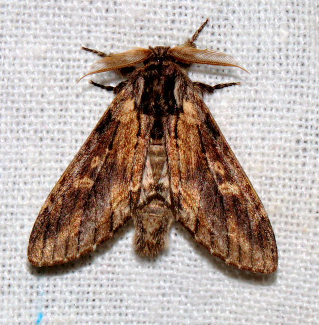 ecosystem/fauna/Notodontid Moth(Teleclita centristicta)