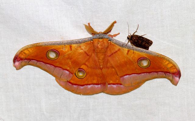 ecosystem/fauna/Tasar Silk Moth(Antheraea paphia)