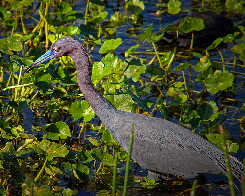 2020.03.20 Sweetwater Wetlands Little Blue Heron 2