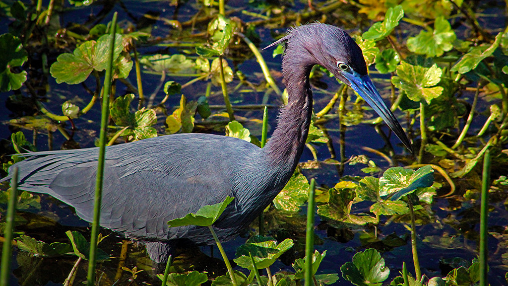 2020.03.20 Sweetwater Wetlands Little Blue Heron 1