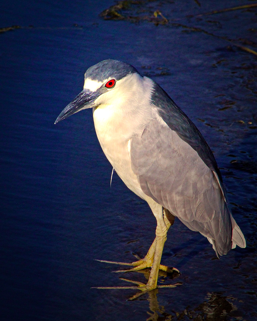 2020.03.20 Sweetwater Wetlands Black-crowned Night Heron 3