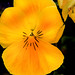 Yellow Pansy 3-0 F LR 3-22-20 J251
