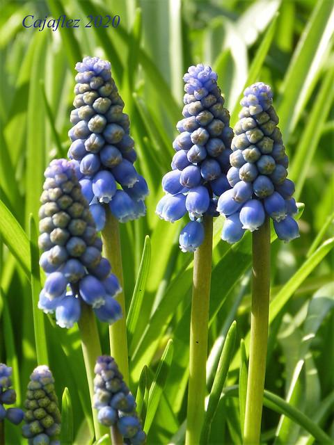 Blauwe druifjes in de tuin. Muscari in my garden.