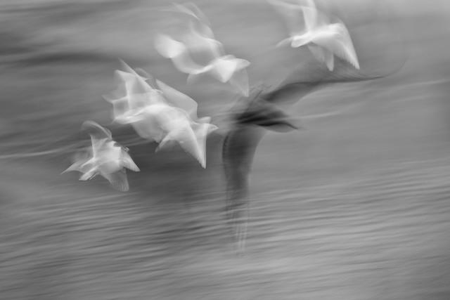 Seagull Study 165