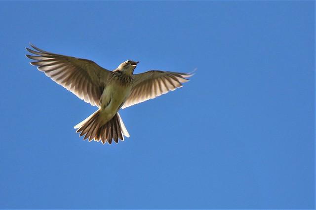 Skylark   (Alauda     arvensis)  Littlestone UK
