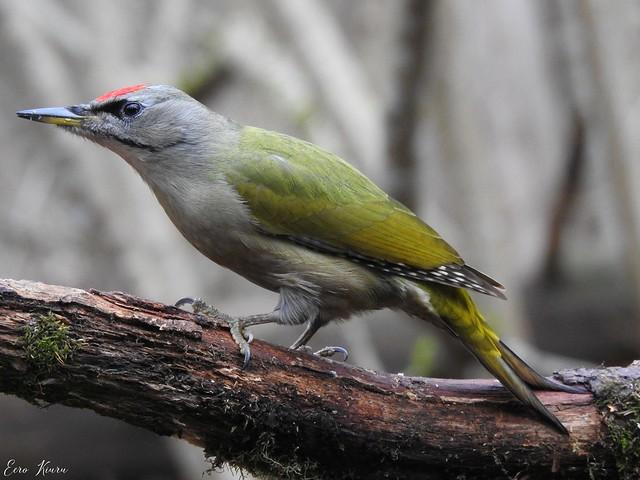 Grey-headed Woodpecker ♂ (Picus canus)