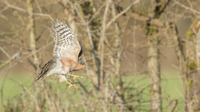 ... Hedgerow hunting ...