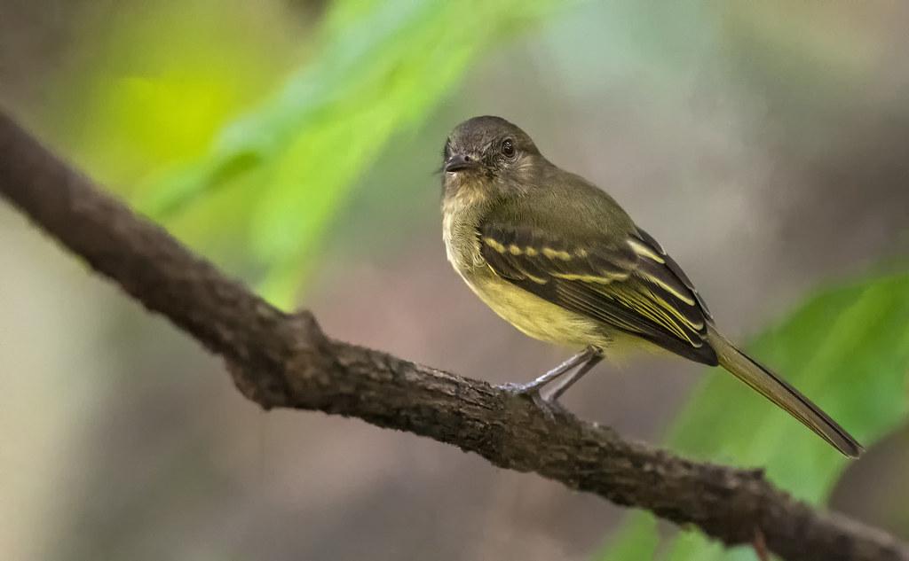Myiopagis flavivertex - Yellow-crowned Elaenia - fío-fío de corona amarilla - bobito corona amarilla 03