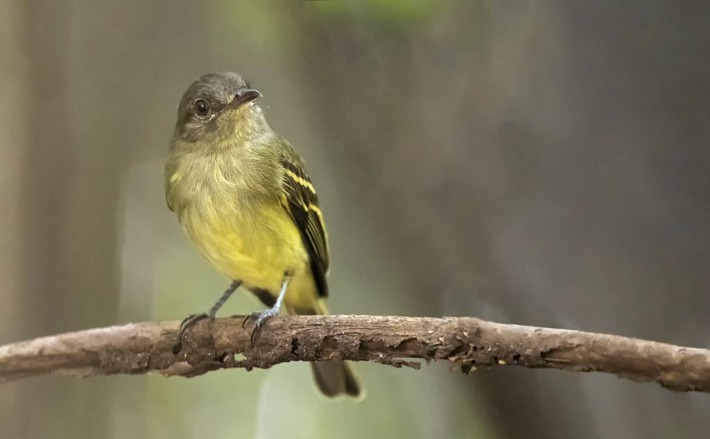 Myiopagis flavivertex - Yellow-crowned Elaenia - fío-fío de corona amarilla - bobito corona amarilla 02