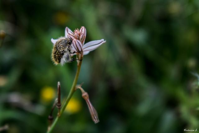 Escarabajo de las flores sobre gamoncillo