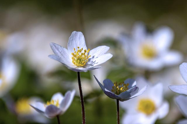 Sea of anemones