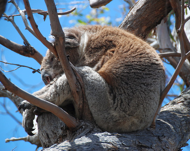 Downtime Down Under - A Koala on Raymond Island Finds Just the Right Position for a Snooze!