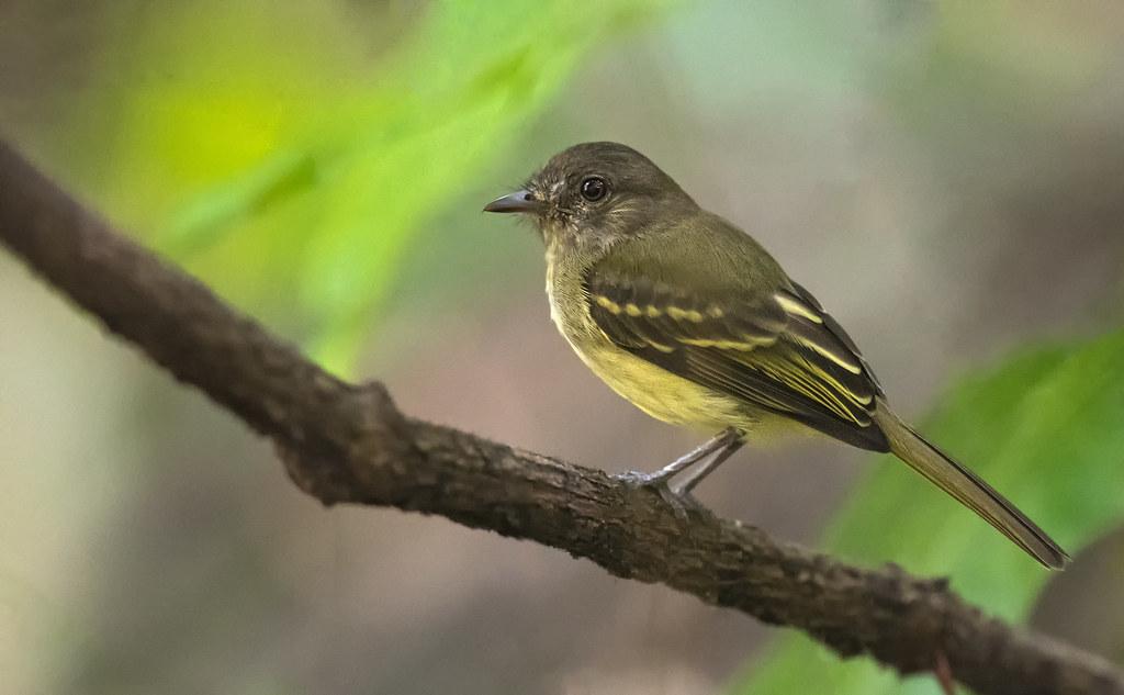 Myiopagis flavivertex - Yellow-crowned Elaenia - fío-fío de corona amarilla - bobito corona amarilla 04