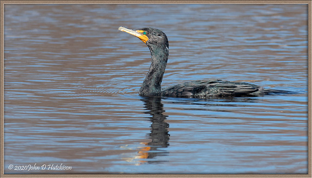 Double-Crested-Cormorant.