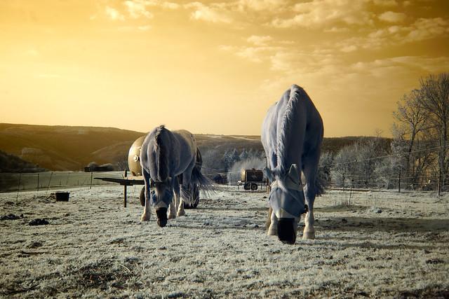 2020 03 28 Pferde bei Presberg 680nmIR - 06