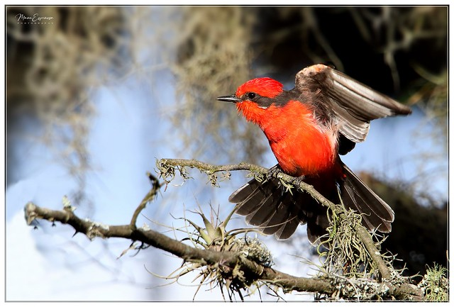 Pájaro Brujo, Pyrochephalus rubinus, Vermilion Flycatcher. Parque Jerusalén, Malchinguí, Pichincha, Ecuador